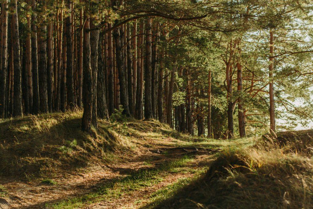 En stig genom en grön skog