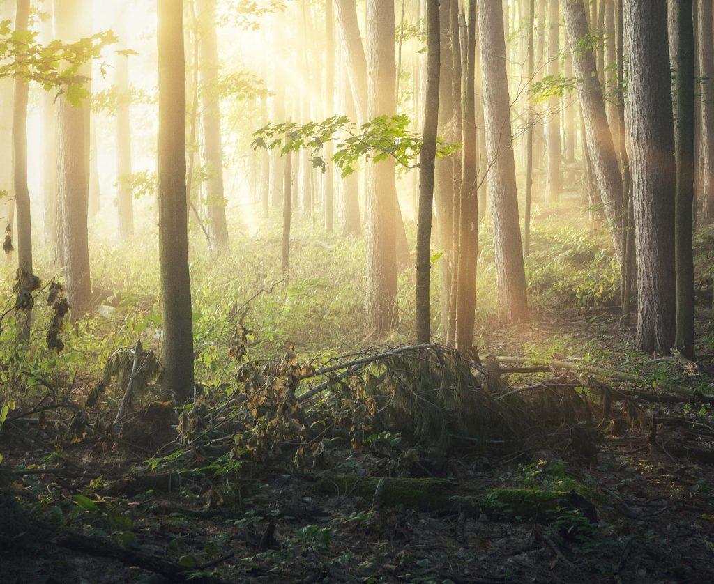 En skog med solens strålar mellan träden